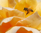 thumbnail-Bee in Rose